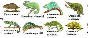 chameleon druhy