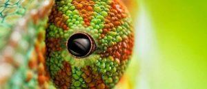 chameleon oko
